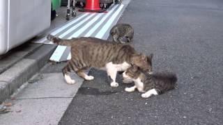 屈強なオス猫、子猫たちの前で失われた威厳を取り戻す The Terrble Drunker Cat By The Silvervine(again)