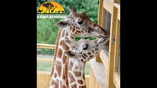 April the Giraffe & Tajiri – Giraffe Yard Cam – Animal Adventure Park