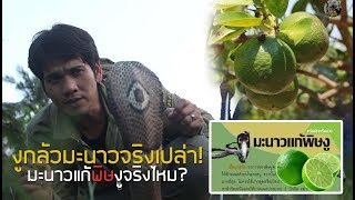 งูเห่ากลัวมะนาวจริงไหม มะนาวแก้พิษงูจริงเปล่า ไปพิสูจน์กัน