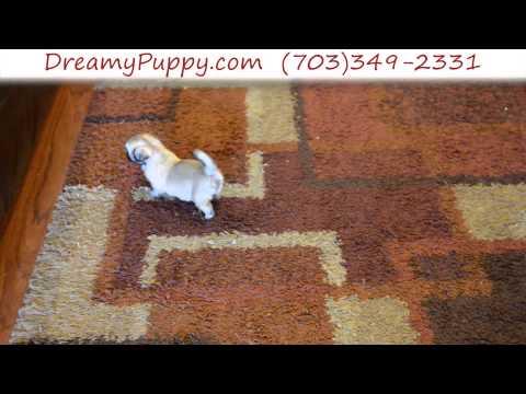Pretty Little Teacup Pekingese Female Puppy 2