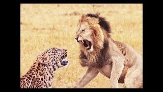 Sư tử vs báo đốm. Cuộc chiến không khoan nhượng ! Lion vs Cheetah
