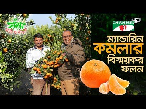 সমতল ভূমিতে দার্জিলিং ও ম্যান্ডারিন জাতের কমলার ফলন | Orange Farming | Shykh Seraj | Channel i |