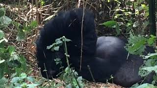 preview picture of video 'Virunga National Park - Mountain Gorillas'
