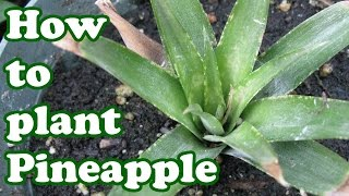 How To Grow A Pineapple Plant - Growing Fruit Trees Pineapples Plants - Backyard Gardening - Jazevox