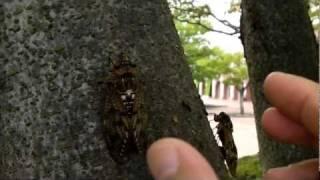 赤いアブラゼミセアカアブラゼミを発見&比較2011年8月22日岡山県