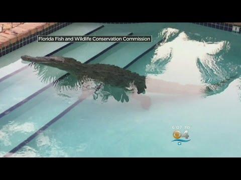 Homeowner Finds Floating Croc In Florida Keys Pool