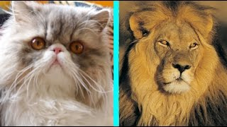 A Household Cat Gets A Lion Cut Makeover thumbnail