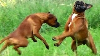 Rottweiler Boxer Mix Sisters Playing Ball