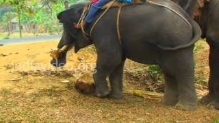 Elephants at Damcherra, Tripura