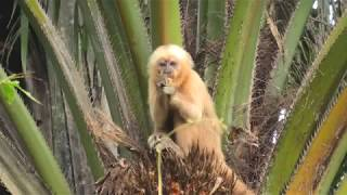 Critically Endangered Blond Capuchin: Only a Few Hundred Individuals Survive.