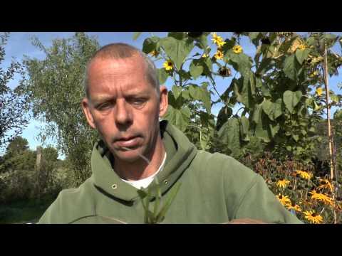 Pflanzen Vermehrung Teil 5. Sonnenhut (Rudbeckia). Gärtnertipp Instructions Stauden
