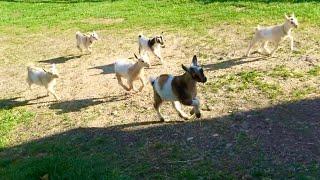 Смотреть онлайн Забавные козлята весело бегают за девушкой
