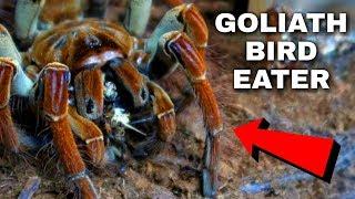GIANT Spider Eats 5 Crickets at ONCE! *intense* | Goliath Birdeater Tarantula Feeding