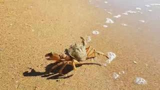 Боевой краб на пляже в Витязево
