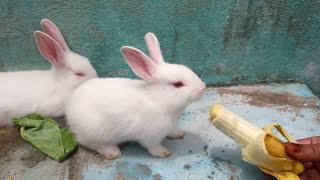 "The Cutest ""Baby Bunny"" Rabbit EVER 