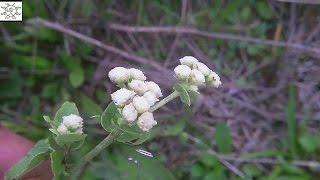 Common Wild Quinine - Parthenium integrifolium