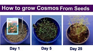 How To Grow Cosmos From Seeds | How To Sow Cosmos | How To Propagate Cosmos