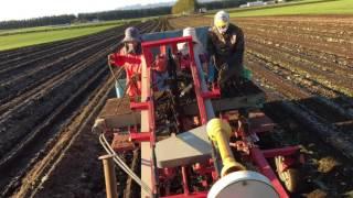 ゴボウの収穫作業です。