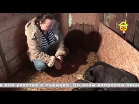 Вьетнамские травоядные свиньи. Личный опыт // FORUMHOUSE