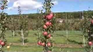 UMass Fruit Advisor: Sep 12, 2007-2nd Leaf Honeycrisp On B.9