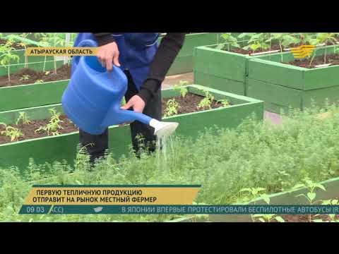 Первую тепличную продукцию отправит на рынок фермер из Атырауской области
