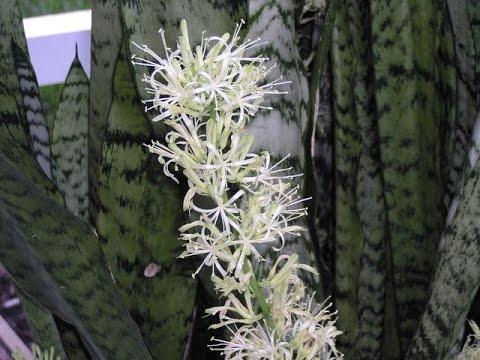 тещин язык фото цветка