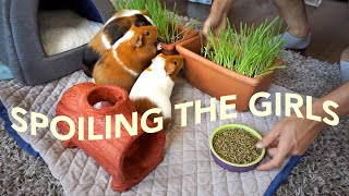 Buying My Guinea Pigs Everything They Want | GuineaDad