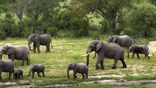 Djuma Private Game Reserve Live Stream: Day filled with Elephants