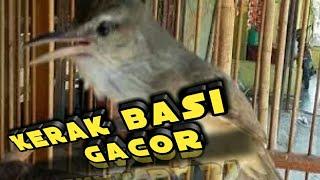 Burung Kerak Basi Gacor  Istimewa