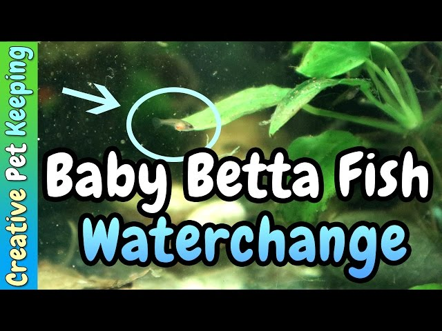 Two Week Old Baby Betta Fish    STARTING WATER CHANGES