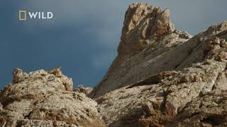 Zobacz najbardziej tajemniczego drapieżnika Azji nazwanego Duchem Gór [Chiny: Ukryte królestwa]