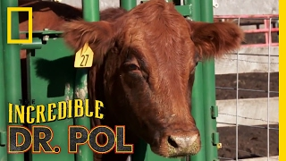 Never Turn Your Back on a Cow | The Incredible Dr. Pol