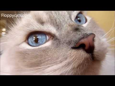 Nystagmus In Cats - Cats Eyes Quiver And Shake - Quivering Cat Eyes - ねこ - ラグドール - Floppycats