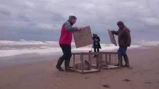 Orphaned seal pup released back into wild after being rescued from cattle field