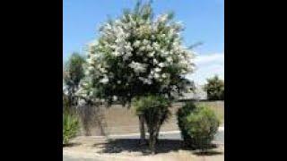 Crepe Myrtle-Natchez-White 30′