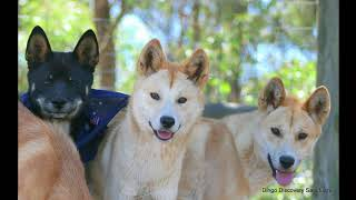 Dingoes Are NOT Dogs