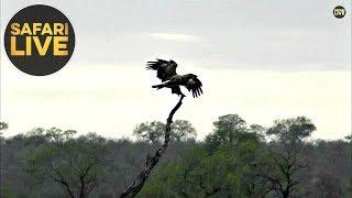 safariLIVE - Sunrise Safari - October 29, 2019