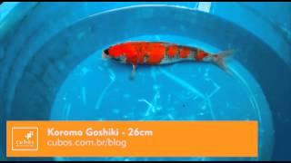 Koromo Goshiki, 26cm