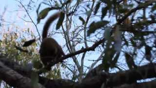 preview picture of video 'Brown lemurs in Berenty Reserve'