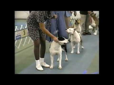 Best of Breed American Staffordshire Terriers at Orlando show June 1996