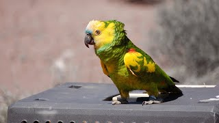 Amazon Parrot Talking | Hi Storm