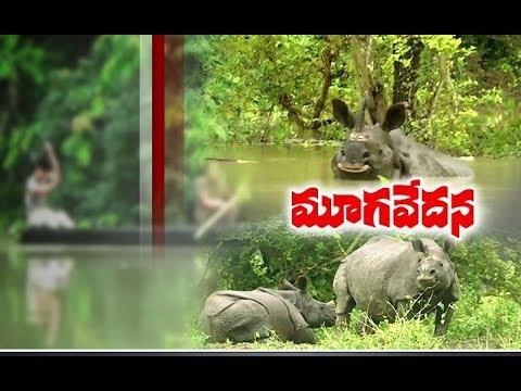 Rare Rhinos In Kaziranga National Park In Danger As Assam Floods Worsen