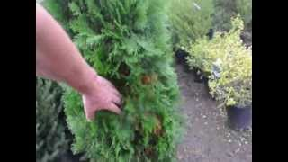 Life  Without  an AK 47     Plant Trees instead of Guns and Ammo   4   Privacy Trees