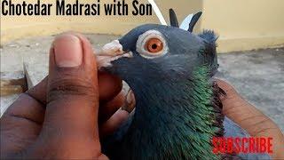 madrasi kabootar_ madrasi kabutar ki ankh ki pehchan|madrasi pigeon by  Raza Photography & Technical