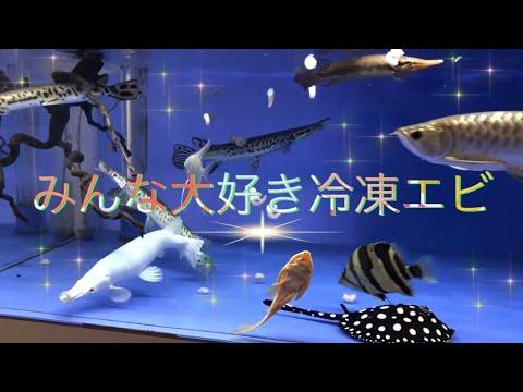 プラチナ アリゲーターガー に餌やり 冷凍エビをあげてみた!monsterfishkeeper