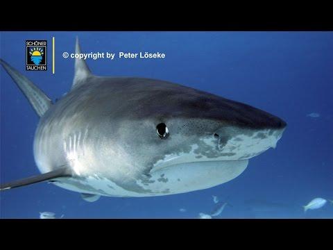 Cocos Island Tiger Shark Dive / Tauchen mit Tigerhaie am Berg der Haie!!, Cocos Insel,Costa Rica