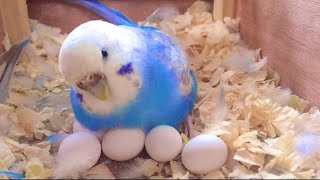 How To Care For A Pregnant Budgie