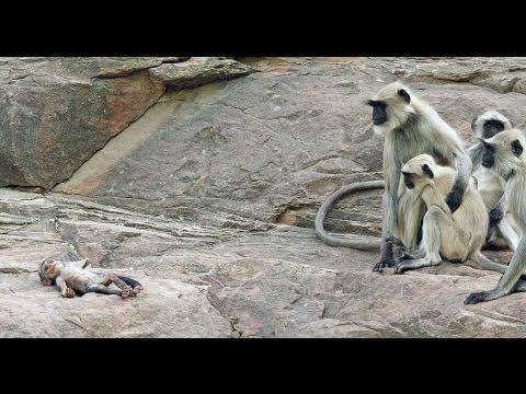 Langur Monkeys grieve over a robot monkey sent to to spy on them after it falls to the ground