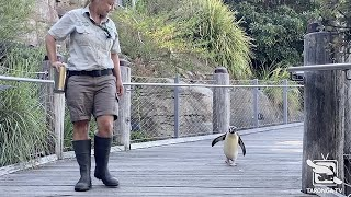 Fiordland Penguin Goes for a Walk around Taronga Zoo Sydney