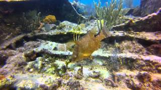 Hogfish Changing Color at the City of Washington Wreck